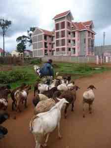 Sheep and goats coming back to the Maasai manyatta