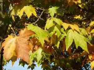 Fall Leaves, Canbera, Australia