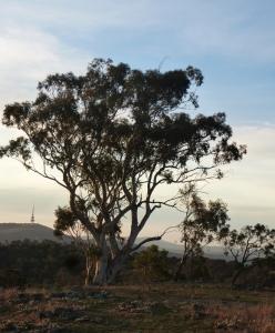Eucalyptus Red HIll Nature Reserve Canberra Australia