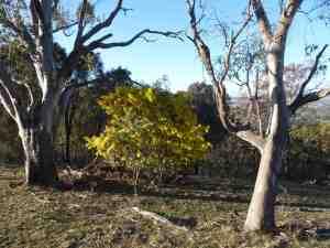 Wattle Trees 60146
