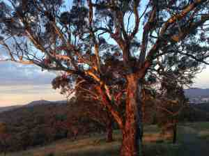 Sunset Gum Tree Red HIll, Canberra, Australia