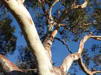 Gum Tree 20002