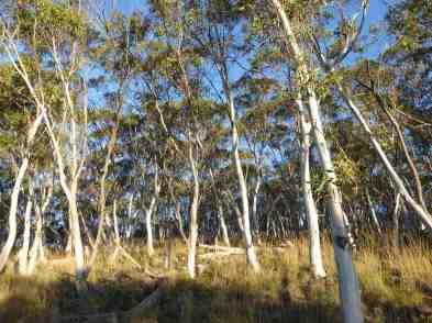 Gum Trees 20005